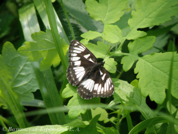 Limenitis amphissa (Men.)  Ленточница амфисса